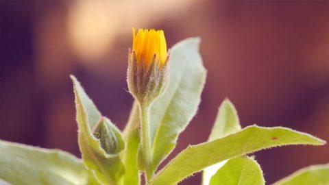 Geschichte von König Salomos zur Unterscheidung zwischen echten und falschen Blumen