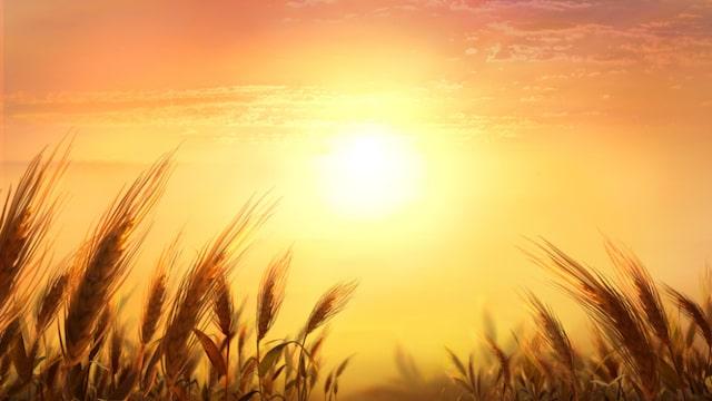 Weizenfeld und Sonnenschein