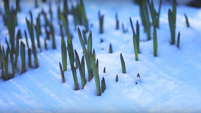 Pflanze wächst im Schnee